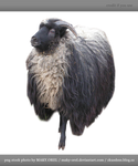 PNG STOCK: Sheep