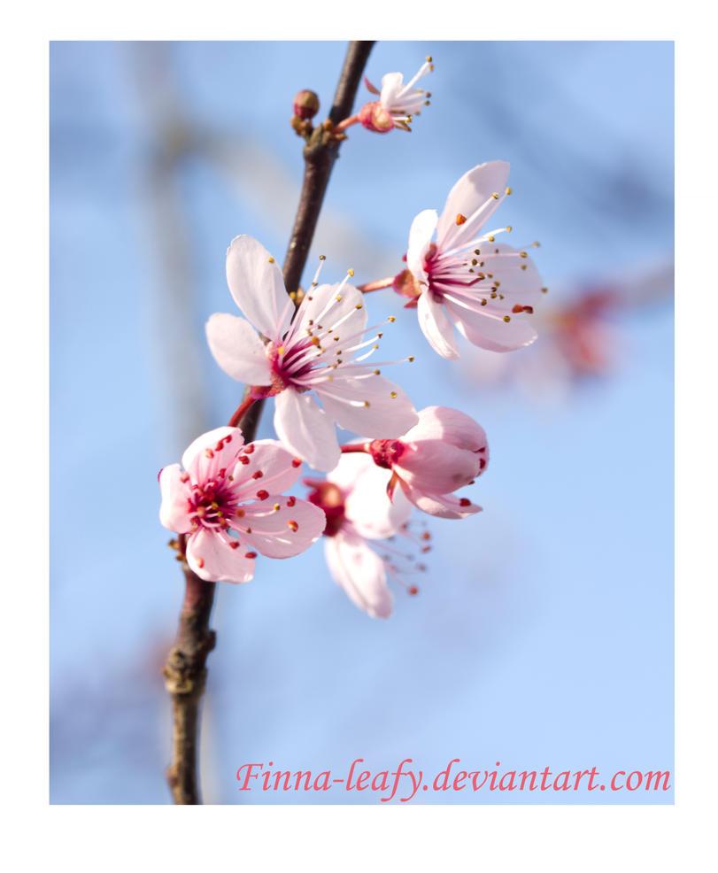 Sakura by Finna-leafy