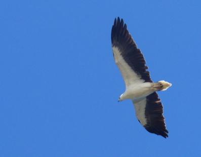 White-Bellied Sea Eagle by ashleeherald