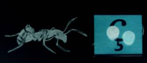 cedille et fourmis la nuit