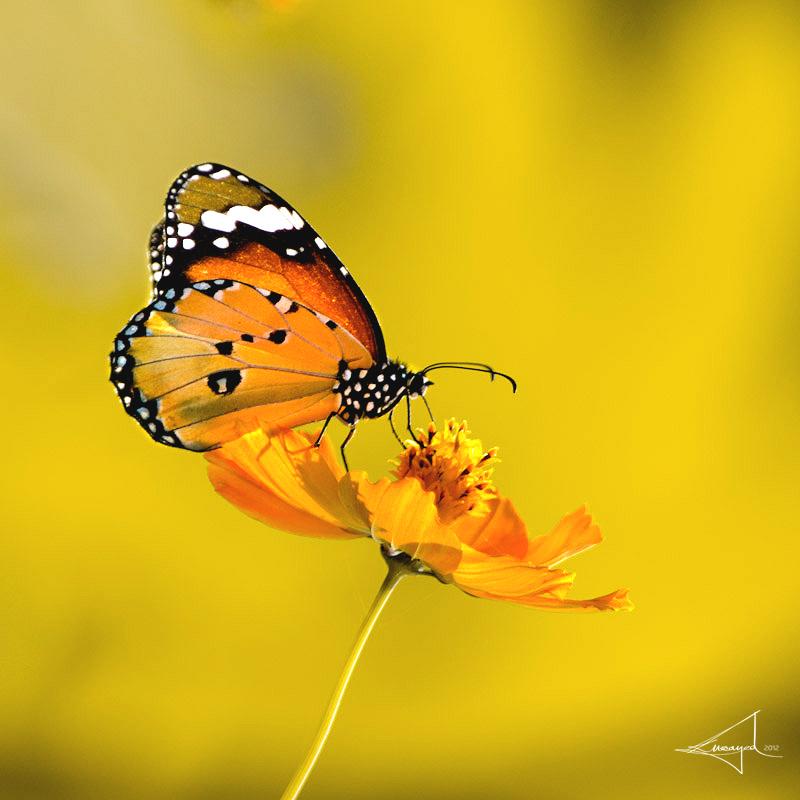 Yellowmelodelo by Usayed