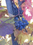 Grape Dornfelder