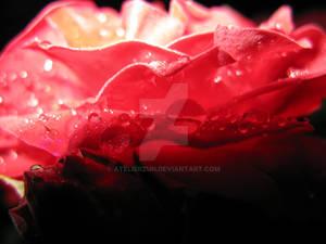Rose and rain