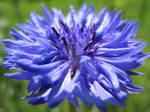 Blue as a cornflower