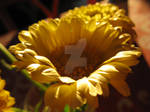 Yellow shine