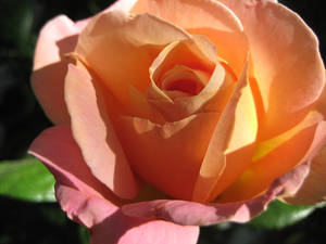 Sunrise Rose Closeup