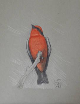 Vermillion flycatcher No. 2
