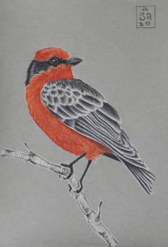 Vermillion flycatcher No. 1