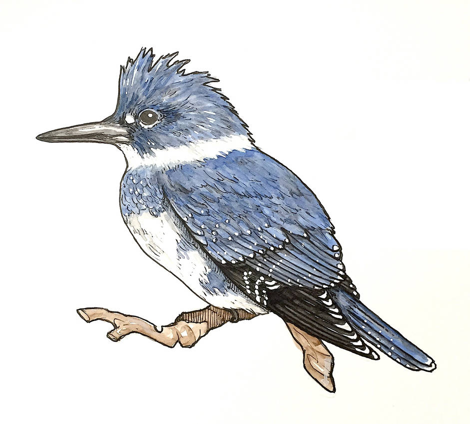 Belted Kingfisher (male, ink + paint)