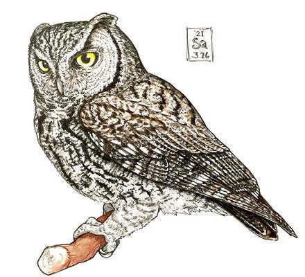 Western Screech Owl (profile, ink + paint)
