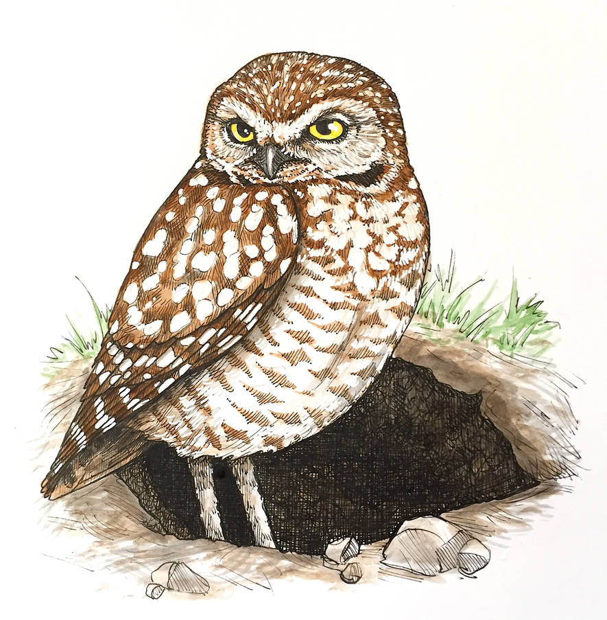 Burrowing Owl (at burrow, ink + paint)