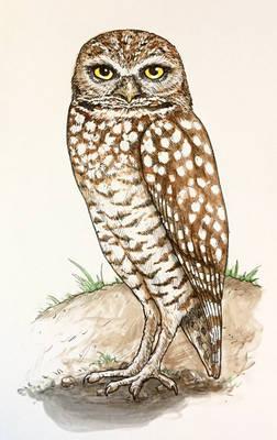Burrowing Owl (alert, ink + paint)
