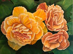 Begonia flowers