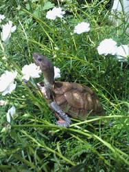 Turtleingrass
