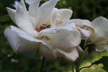 white roses by JulchenBunny