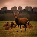 Deer in Richmond Park II