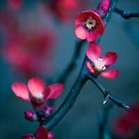 Blossom by Jez92