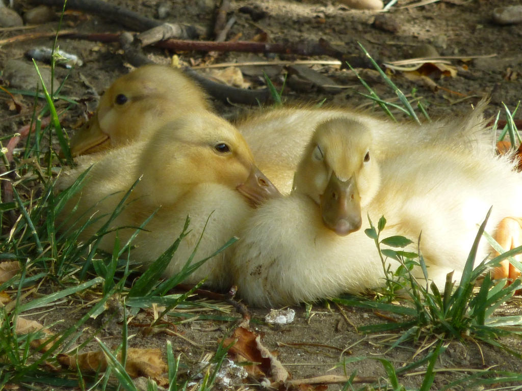 Ducklings by All-Da-Pretty-Horses