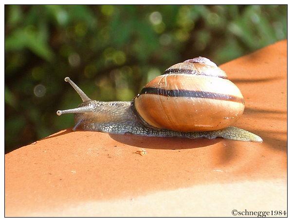Snail by schnegge1984