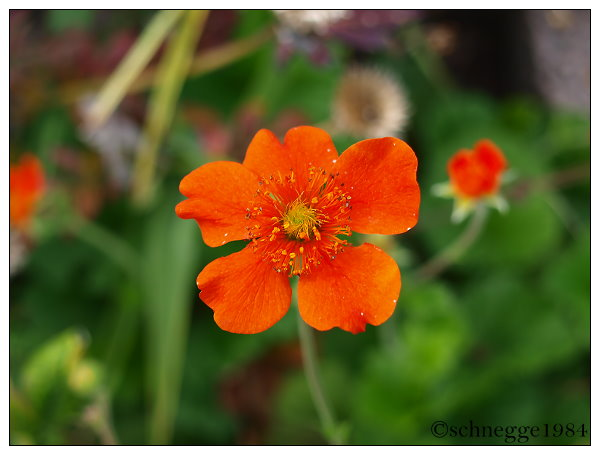 Red Flower 1 by schnegge1984
