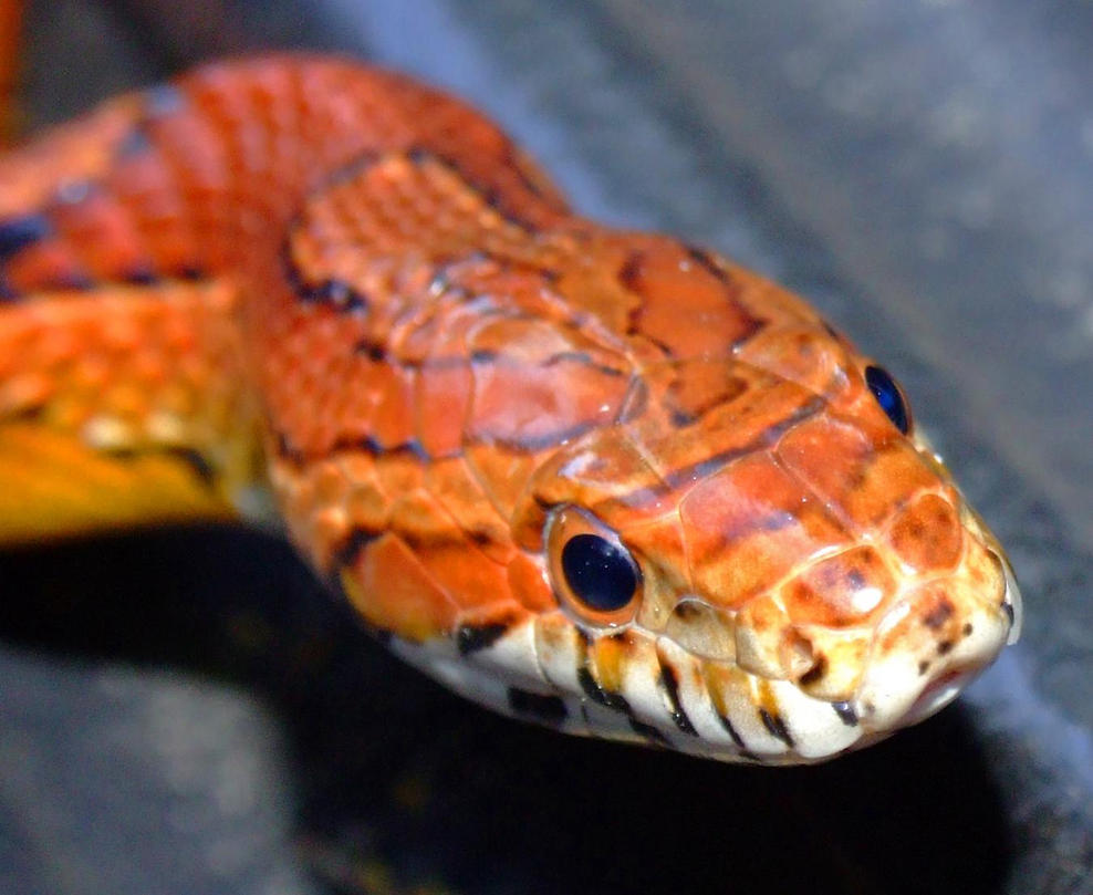 Corn Snake Macro By Pitbulllady On Deviantart