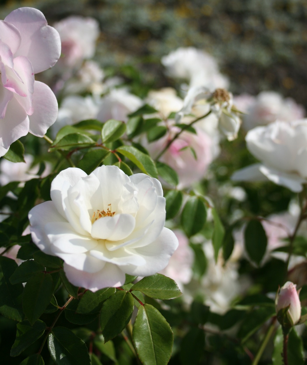 White Flower by HaMaSeR