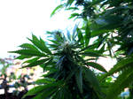 Indica Young Flowers 05