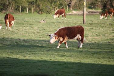 Cow 1 by jezmck