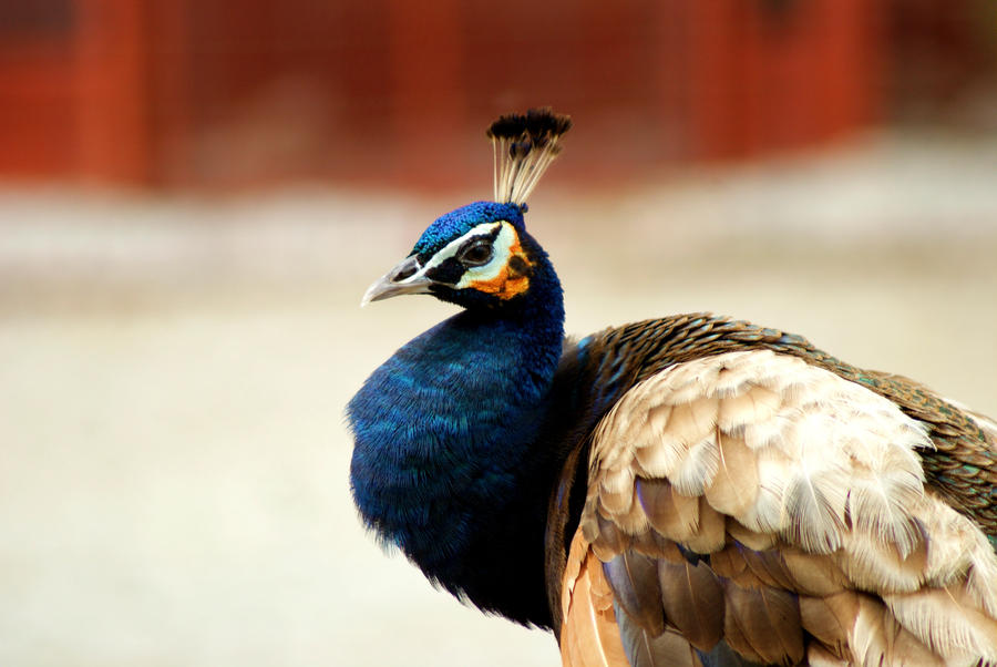 I wanna see your peafowl by MicWits101