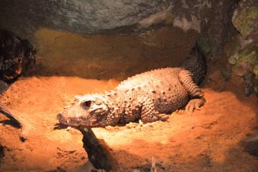 Crocodile a front large