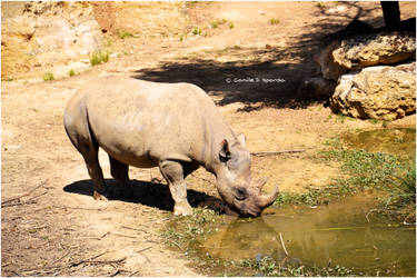 Rhino vs2