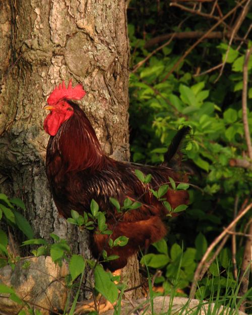 A rooster by aperson