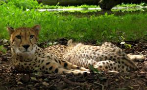 Cheetah - family by badzia90