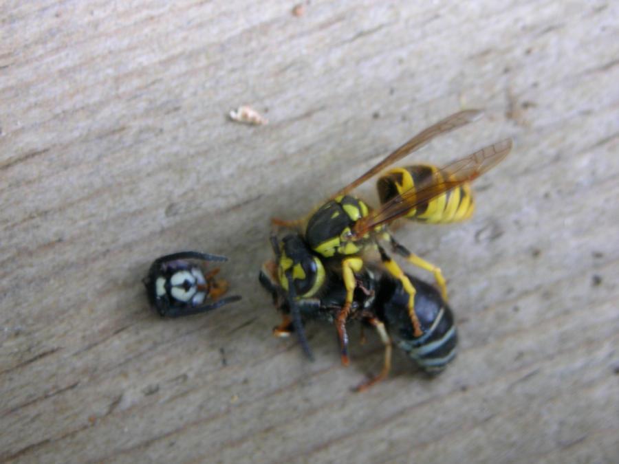 Hornet vs wasp