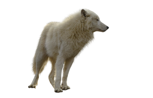 Wolf on a transparent background. by PRUSSIAART on DeviantArt