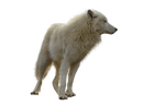 Precut Wolf PNG stock ressource