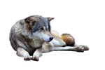 Precut Wolf 2 PNG stock ressource