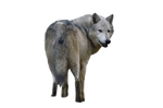 Precut Wolf 3 PNG stock ressource