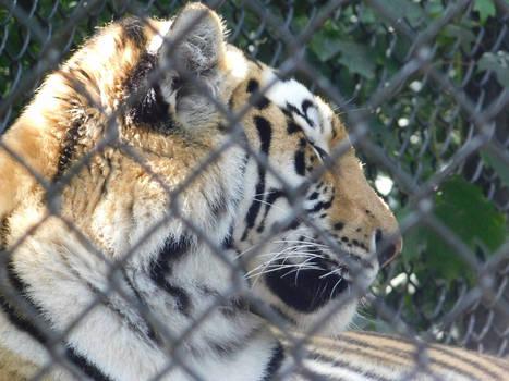 Tiger Stripes