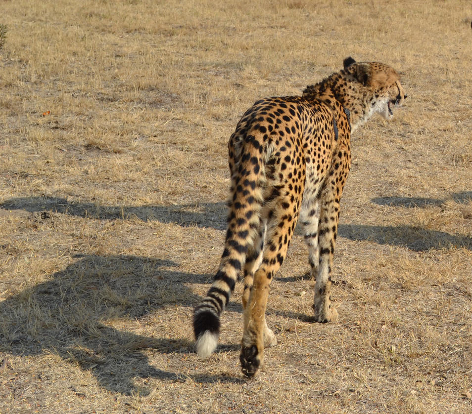Cheetah Walk by RecreateStock