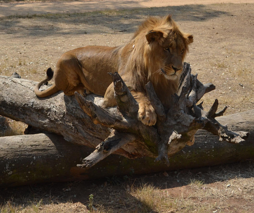 Lion in the sun by RecreateStock