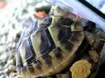 boos turtle 1