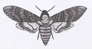 Death's-head Hawkmoth Pen and Ink Open Wings
