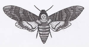 Death's-head Hawkmoth Pen and Ink Open Wings