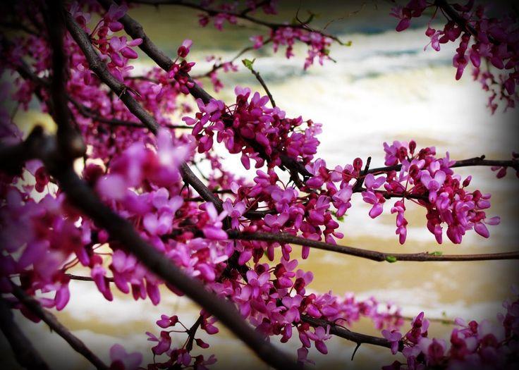 Redbud Tree by thomas-a-bishop