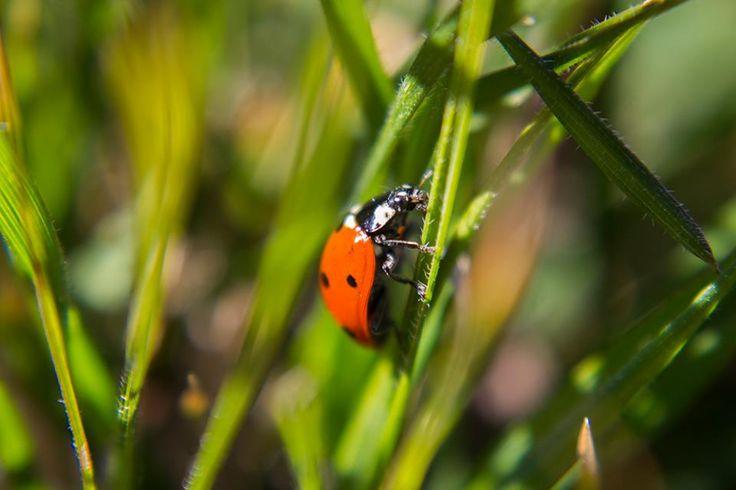 Ladybug by thomas-a-bishop