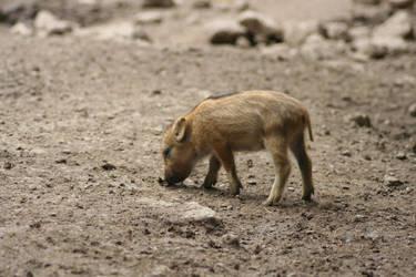 Baby Boar by RitalinZombiee