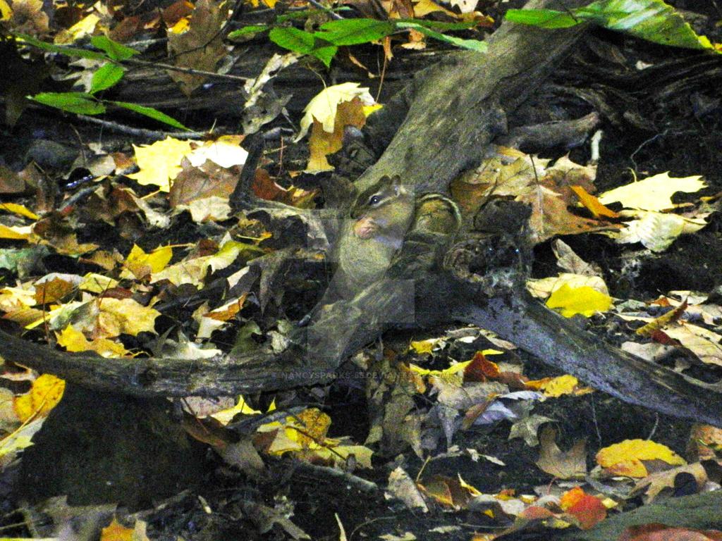Chipmunk in Autumn Woods by NancySparks-55