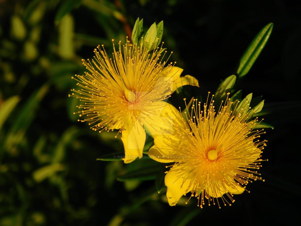 Sunburst Gold Flowers by NancySparks-55