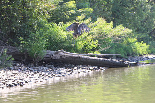 Day 58: Blue Heron Flight